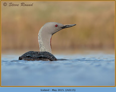 red-throated-diver-115.jpg