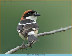 woodchat-shrike-25.jpg