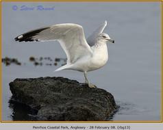 ring-billed-gull-13.jpg