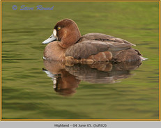 tufted-duck-02.jpg