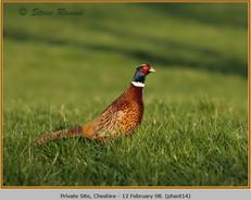 pheasant-14.jpg