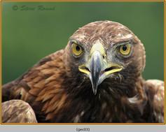 golden-eagle(c)-03.jpg
