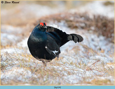 black-grouse-124.jpg