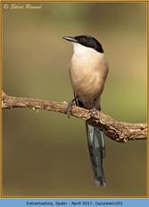 azure-winged-magpie-20.jpg