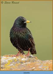 starling-60.jpg