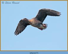 pink-footed-goose-77.jpg
