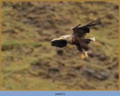 white-tailed-eagle-07.jpg