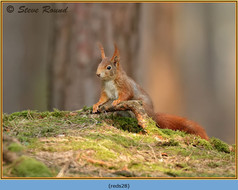 red-squirrel-28.jpg