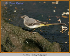 grey-wagtail-12.jpg