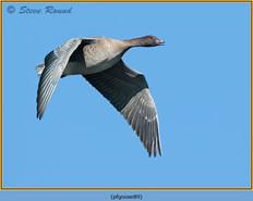 pink-footed-goose-89.jpg