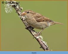 house-sparrow-64.jpg