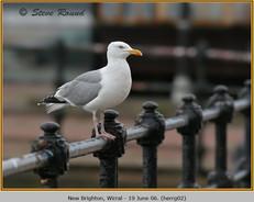 herring-gull-02.jpg