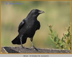 carrion-crow-15.jpg