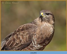 buzzard- 84.jpg