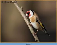 goldfinch-67.jpg