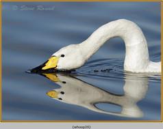 whooper-swan-20.jpg