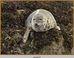 grey-seal-13.jpg