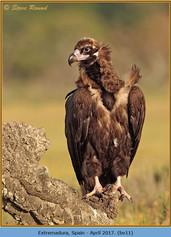 black-vulture-11.jpg