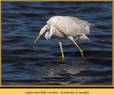 great-white-egret-05.jpg