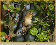 grasshopper-warbler-25.jpg