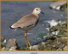 white-tailed-lapwing-38.jpg