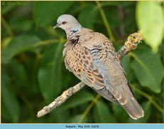 turtle-dove-24.jpg