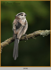 long-tailed-tit-58.jpg