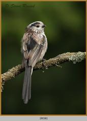 long-tailed-tit-58.jpg