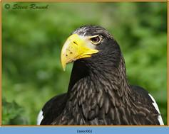 stellars-sea-eagle-06c.jpg