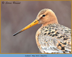 black-tailed-godwit-101.jpg
