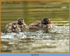little-grebe-10.jpg