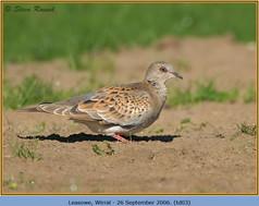 turtle-dove-03.jpg