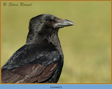 carrion-crow-51.jpg