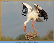white-stork-37.jpg