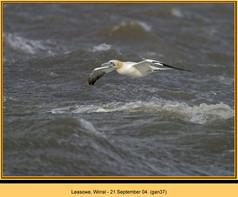 gannet-37.jpg
