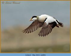 eider-duck- 84.jpg
