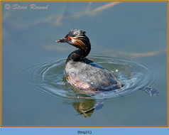 black-necked-grebe-21.jpg