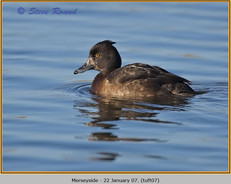 tufted-duck-07.jpg