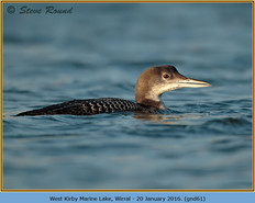 great-northern-diver-61.jpg