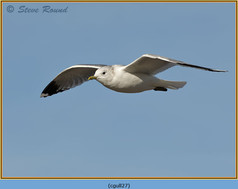 common-gull-27.jpg