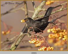 blackbird-80.jpg