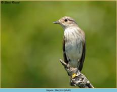 spotted-flycatcher-49.jpg