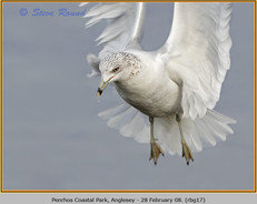 ring-billed-gull-17.jpg