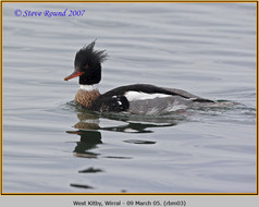 red-breasted-merganser-03.jpg