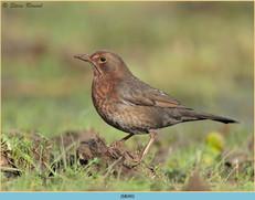 blackbird-90.jpg