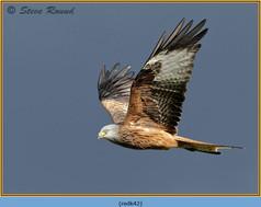 red-kite-42.jpg