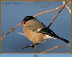 bullfinch-70.jpg