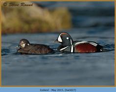 harlequin-duck-27.jpg