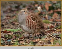 grey-partridge-15.jpg