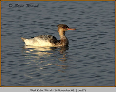 red-breasted-merganser-17.jpg